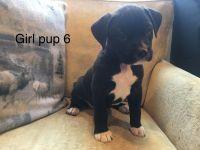 Boxer Puppies for sale in Soap Lake, WA 98851, USA. price: NA