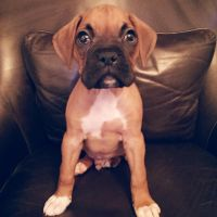 Boxer Puppies for sale in Newark, NJ, USA. price: NA