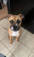 Boxer Puppies for sale in Gastonia, NC, USA. price: NA
