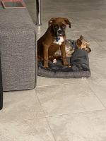 Boxer Puppies for sale in Winter Springs, FL, USA. price: NA