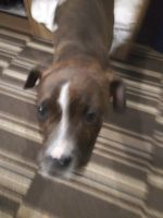 Boxer Puppies for sale in 1603 Matthews-Mint Hill Rd, Matthews, NC 28105, USA. price: NA