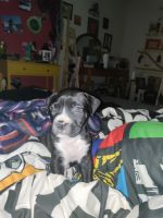 Boxer Puppies for sale in Gainesville, GA, USA. price: NA