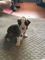 Boxer Puppies for sale in Colton, CA, USA. price: NA