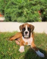 Boxer Puppies for sale in Atlanta, GA, USA. price: NA