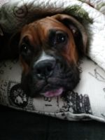 Boxer Puppies for sale in Baltimore, MD, USA. price: NA