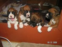 Boxer Puppies for sale in Chicago, IL 60640, USA. price: NA