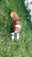 Boxer Puppies for sale in Mt Laurel Township, NJ, USA. price: NA