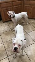 Boxer Puppies for sale in Fort Gibson, OK 74434, USA. price: NA