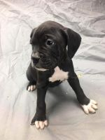 Boxer Puppies for sale in Fort Collins, CO, USA. price: NA