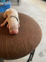 Boxer Puppies for sale in Guyton, GA 31312, USA. price: NA
