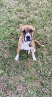 Boxer Puppies for sale in Troy, MO, USA. price: NA