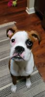 Boxer Puppies for sale in Lisle, IL, USA. price: NA