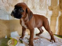 Boxer Puppies for sale in Odon, IN 47562, USA. price: NA