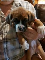 Boxer Puppies for sale in Lake Bistineau Park, Louisiana 71023, USA. price: NA