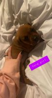 Boxer Puppies for sale in Bowling Green, KY, USA. price: NA