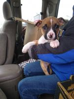 Boxer Puppies for sale in Rupert, ID 83350, USA. price: NA