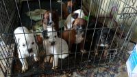 Boxer Puppies for sale in 631 Muriel Dr, Barstow, CA 92311, USA. price: NA