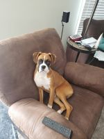 Boxer Puppies for sale in Osceola, IN 46561, USA. price: NA