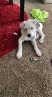 Boxer Puppies for sale in 6560 Steinway Dr, Reynoldsburg, OH 43068, USA. price: NA