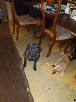 Boxer Puppies for sale in Cleveland, TX, USA. price: NA