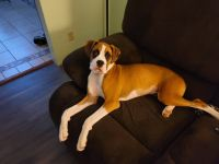 Boxer Puppies for sale in Huntington, IN 46750, USA. price: NA