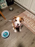 Boxer Puppies for sale in Sewell, NJ 08080, USA. price: NA