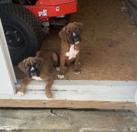 Boxer Puppies for sale in Windsor, KY 42565, USA. price: NA