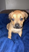 Boxer Puppies for sale in Houston, TX 77009, USA. price: NA