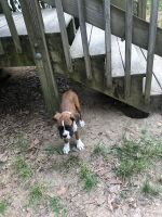 Boxer Puppies for sale in Beltsville, MD, USA. price: NA