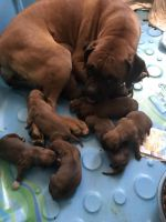 Boxer Puppies for sale in E Owens, Show Low, AZ 85901, USA. price: NA