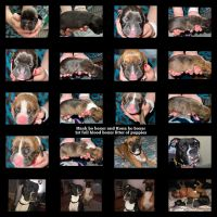 Boxer Puppies for sale in Naples, TX 75568, USA. price: NA