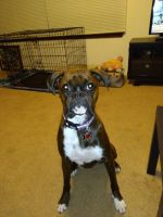 Boxer Puppies for sale in Middletown, OH, USA. price: NA