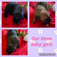 Boxer Puppies for sale in Cape Coral, FL, USA. price: NA