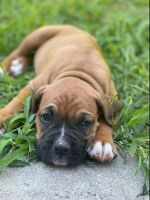 Boxer Puppies for sale in Redlands, CA, USA. price: NA