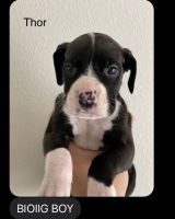 Boxer Puppies for sale in St. Augustine, FL 32092, USA. price: NA