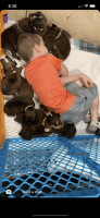 Boxer Puppies for sale in Hartsburg, MO 65039, USA. price: NA