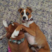 Boxer Puppies for sale in Pomona, CA, USA. price: NA