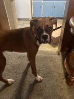 Boxer Puppies for sale in Olathe, KS, USA. price: NA