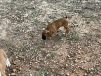 Boxer Puppies for sale in Broken Bow, OK 74728, USA. price: NA