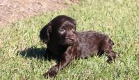 Boykin Spaniel Puppies for sale in Colorado Springs, CO, USA. price: NA