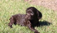 Boykin Spaniel Puppies for sale in New York, NY, USA. price: NA