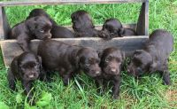 Boykin Spaniel Puppies for sale in Wilmington, OH 45177, USA. price: NA