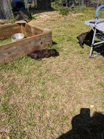 Boykin Spaniel Puppies for sale in Lizella, GA 31052, USA. price: NA