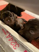 Boykin Spaniel Puppies for sale in Research Triangle, Durham, NC, USA. price: NA