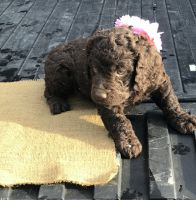 Boykin Spaniel Puppies for sale in Baxley, GA 31513, USA. price: NA
