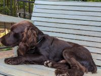 Boykin Spaniel Puppies for sale in Monroe, GA, USA. price: NA