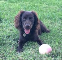 Boykin Spaniel Puppies for sale in Powell, TN 37849, USA. price: NA