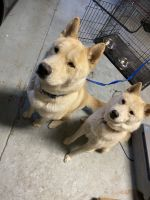 Boykin Spaniel Puppies for sale in Las Vegas, NV, USA. price: NA