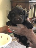 Boykin Spaniel Puppies for sale in Monroe, GA, USA. price: NA