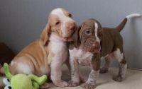 Bracco Italiano Puppies Photos